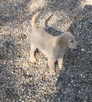 Golden Retriever Puppies for sale in Odon, IN 47562, USA. price: NA