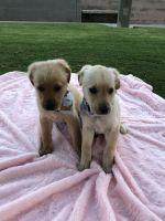 Golden Retriever Puppies for sale in Santa Ana, CA 92701, USA. price: NA