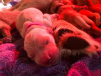 Golden Retriever Puppies for sale in Greenwood, FL 32443, USA. price: NA