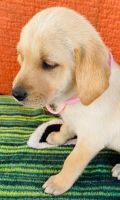Golden Retriever Puppies for sale in Lakewood, CA, USA. price: NA