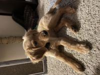 Golden Retriever Puppies for sale in Jeffersonville, IN, USA. price: NA