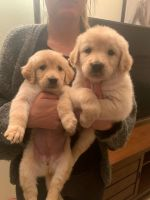 Golden Retriever Puppies for sale in San Diego, CA, USA. price: NA