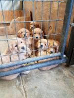 Golden Retriever Puppies for sale in Altamont, KS 67330, USA. price: NA