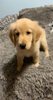 Golden Retriever Puppies for sale in 81 North Ln, West Rutland, VT 05777, USA. price: NA