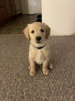 Golden Retriever Puppies for sale in Ronkonkoma, NY, USA. price: NA