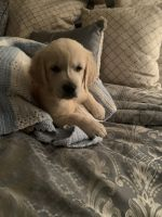 Golden Retriever Puppies for sale in Elmer, NJ 08318, USA. price: NA