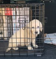 Golden Retriever Puppies for sale in Jackson Township, NJ, USA. price: NA