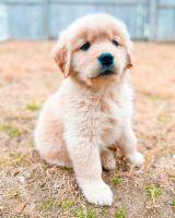 Golden Retriever Puppies for sale in Oklahoma City, OK, USA. price: NA
