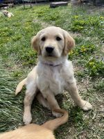 Golden Retriever Puppies for sale in Klamath Falls, OR, USA. price: NA