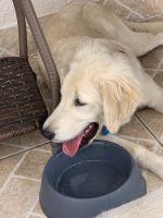 Golden Retriever Puppies for sale in Miami, FL, USA. price: NA