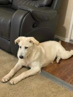 Golden Retriever Puppies for sale in Rancho Cucamonga, CA 91730, USA. price: NA