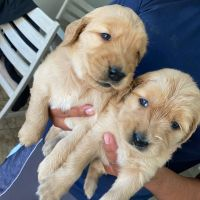 Golden Retriever Puppies for sale in Victorville, CA, USA. price: NA
