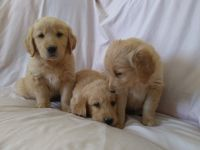 Golden Retriever Puppies for sale in Apple Valley, CA, USA. price: NA