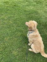 Golden Retriever Puppies for sale in Ashburn, VA 20147, USA. price: NA