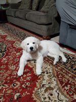 Golden Retriever Puppies for sale in Corona, CA, USA. price: NA