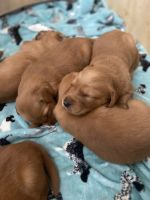 Golden Retriever Puppies for sale in Austin, TX, USA. price: NA