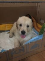 Golden Retriever Puppies for sale in Henderson, NV, USA. price: NA