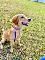 Golden Retriever Puppies for sale in 2277 Abbey Ln, Palm Harbor, FL 34683, USA. price: NA