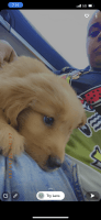 Golden Retriever Puppies for sale in Cape Coral, FL, USA. price: NA