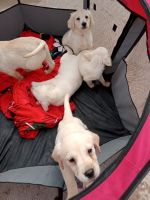 Golden Retriever Puppies for sale in Camellia Ave, Los Angeles, CA, USA. price: NA