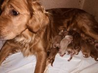 Golden Retriever Puppies for sale in Hurricane, UT 84737, USA. price: NA