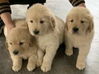Golden Retriever Puppies for sale in Charlotte, NC, USA. price: NA