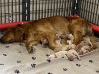 Golden Retriever Puppies for sale in Indianapolis, IN, USA. price: NA