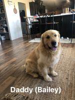Golden Retriever Puppies for sale in Seminole, TX 79360, USA. price: NA