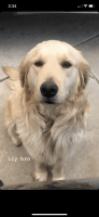 Golden Retriever Puppies for sale in 21971 Nance St, Perris, CA 92570, USA. price: NA