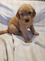 Golden Retriever Puppies for sale in Woodford, VA 22580, USA. price: NA
