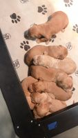 Golden Retriever Puppies for sale in Woodland, WA 98674, USA. price: NA