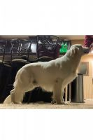 Golden Retriever Puppies for sale in Murrieta, CA, USA. price: NA