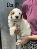 Goldendoodle Puppies for sale in Eubank, KY 42567, USA. price: NA
