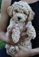 Goldendoodle Puppies for sale in Oxon Hill, MD, USA. price: NA