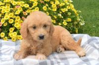 Goldendoodle Puppies for sale in HUNTINGTN BCH, CA 92646, USA. price: NA