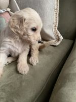 Goldendoodle Puppies for sale in Berea, KY, USA. price: NA