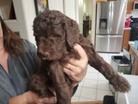 Goldendoodle Puppies for sale in 3401 N Meadowlark Dr, Prescott Valley, AZ 86314, USA. price: NA