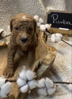 Goldendoodle Puppies for sale in Jasper, GA, USA. price: NA