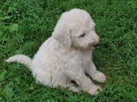 Goldendoodle Puppies for sale in 648 W 1400 N, North Manchester, IN 46962, USA. price: NA