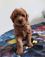 Goldendoodle Puppies for sale in Parkland, FL, USA. price: NA