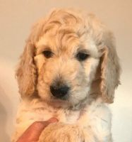 Goldendoodle Puppies for sale in Broadview Heights, OH 44147, USA. price: NA