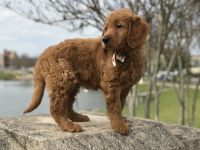 Goldendoodle Puppies for sale in Lakeland, FL, USA. price: NA