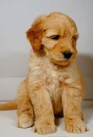 Goldendoodle Puppies for sale in Los Angeles, CA, USA. price: NA