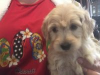 Goldendoodle Puppies for sale in Castle Rock, CO, USA. price: NA