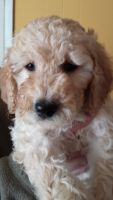 Goldendoodle Puppies for sale in Brockport, NY 14420, USA. price: NA