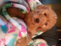 Goldendoodle Puppies for sale in Bloomingdale, OH 43910, USA. price: NA