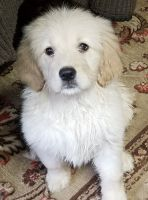 Goldendoodle Puppies for sale in Cranston, RI, USA. price: NA