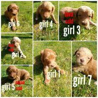 Goldendoodle Puppies for sale in Warrenton, OR, USA. price: NA