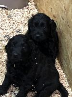 Goldendoodle Puppies for sale in Lebanon, OH 45036, USA. price: NA