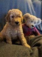 Goldendoodle Puppies for sale in Midland, MI, USA. price: NA